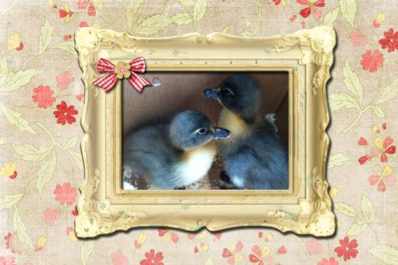 new baby ducks